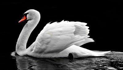 swan-2107052_1920