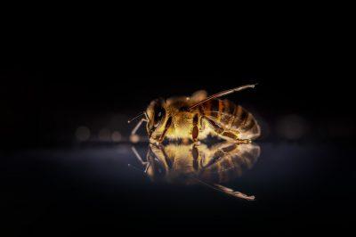 honey-bee-3930374_1920